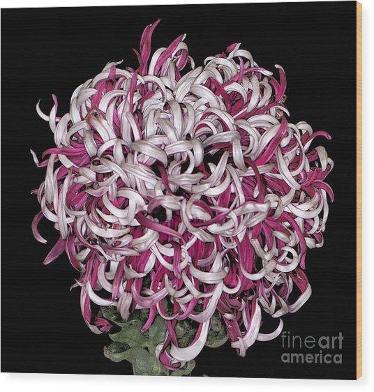 Chrysanthemum 'lili Gallon' Wood Print