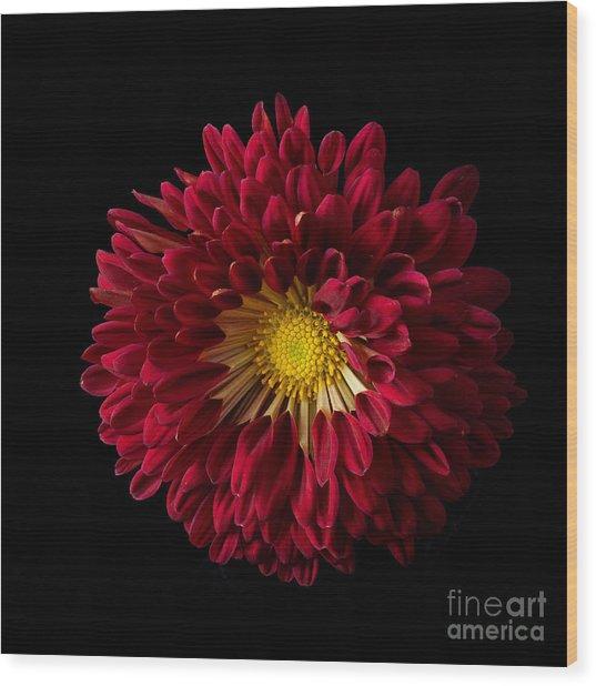 Chrysanthemum 'red Wing' Wood Print