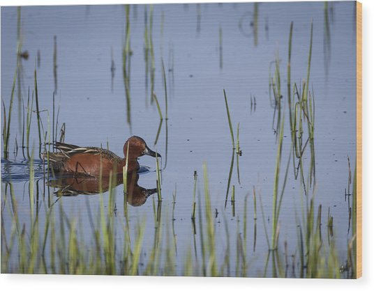 Cinnamon Teal Adult Male Wood Print