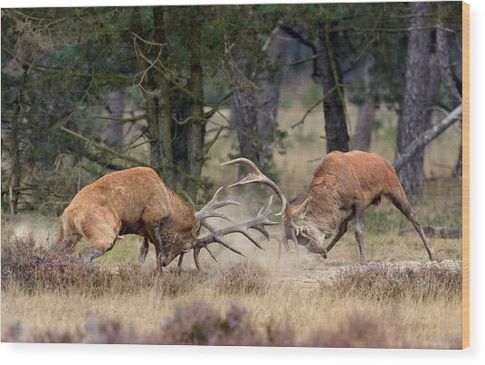 Clash Of The Titans Wood Print by Roelof Janssens