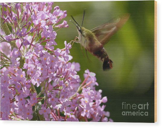 Clearwing Pink Wood Print
