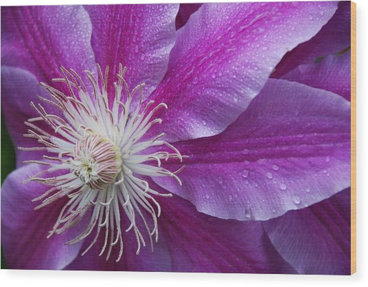 Clematis 101 Wood Print by William Thomas
