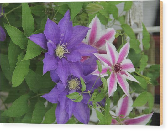 Clematis Purple And Pink White Wood Print
