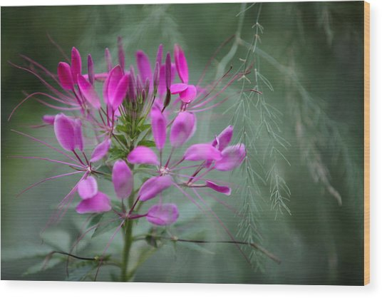 Wood Print featuring the photograph Cleome by Jane Melgaard