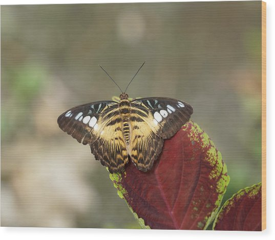 Wood Print featuring the photograph Clipper Butterfly by Paul Gulliver