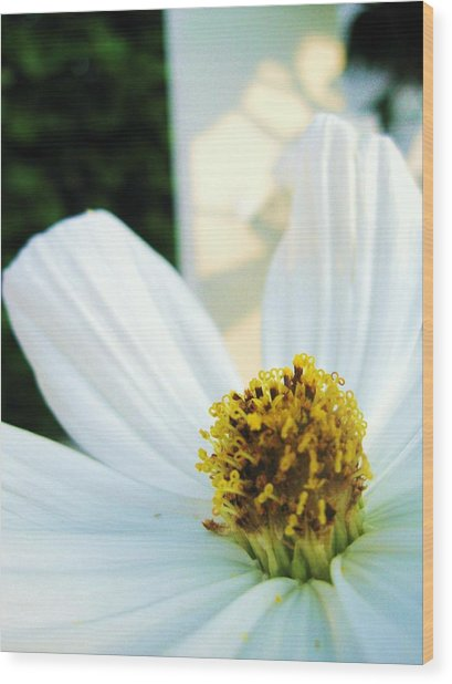 Close To A Daisy Wood Print by Nancy Ippolito