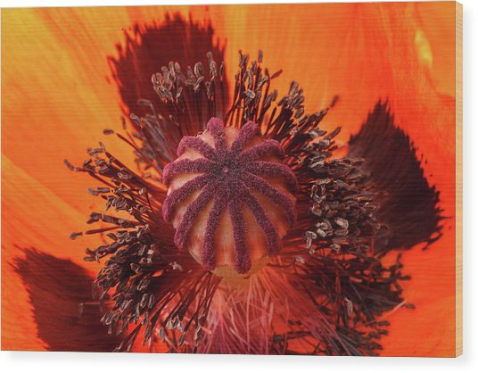 Close-up Bud Of A Red Poppy Flower Wood Print