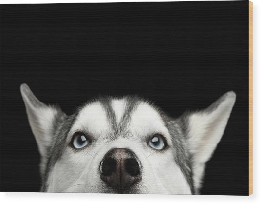 Close-up Head Of Peeking Siberian Husky Wood Print