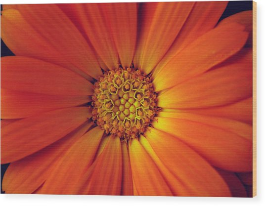 Close Up Of An Orange Daisy Wood Print by PIXELS  XPOSED Ralph A Ledergerber Photography