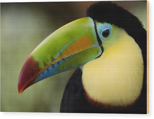 Close-up Of Keel-billed Toucan Wood Print