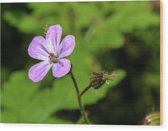 Close Up Of Shining Cranesbill A Wood Print