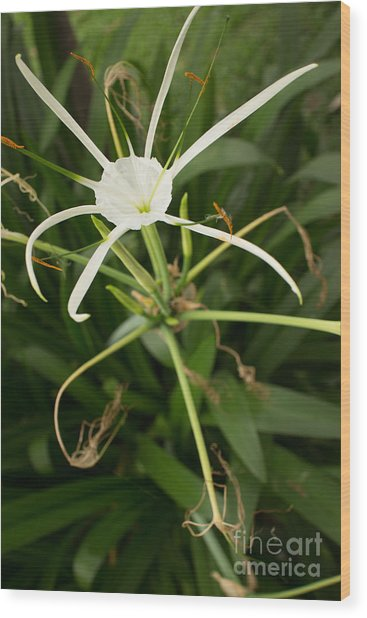 Close Up White Asian Flower With Leafy Background, Vertical View Wood Print