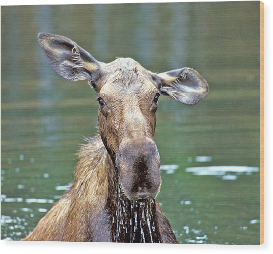 Close Wet Moose Wood Print
