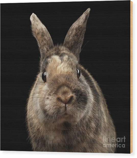 Closeup Funny Little Rabbit, Brown Fur, Isolated On Black Backgr Wood Print