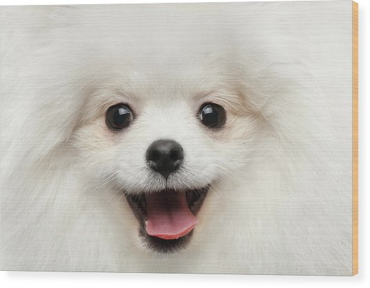 Closeup Furry Happiness White Pomeranian Spitz Dog Curious Smiling Wood Print