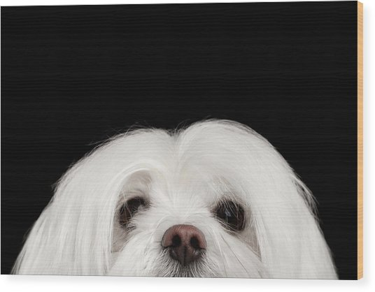 Closeup Nosey White Maltese Dog Looking In Camera Isolated On Black Background Wood Print
