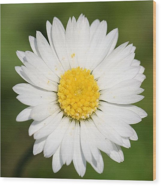 Closeup Of A Beautiful Yellow And White Daisy Flower Wood Print