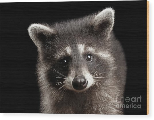 Closeup Portrait Cute Baby Raccoon Isolated On Black Background Wood Print