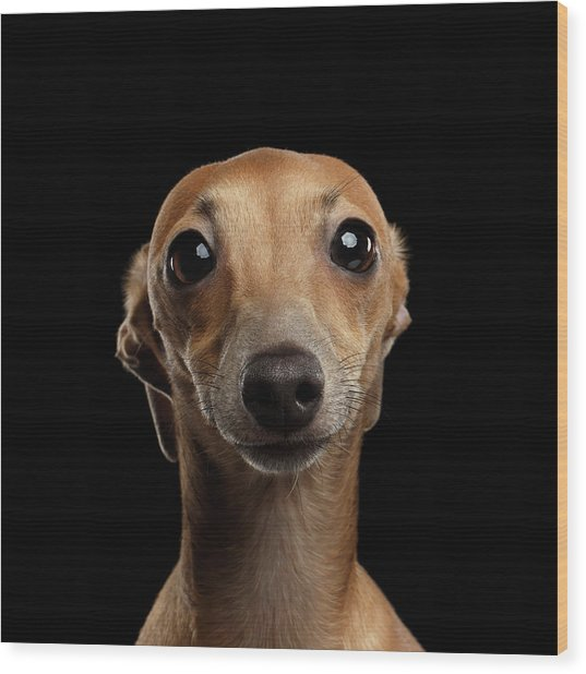 Closeup Portrait Italian Greyhound Dog Looking In Camera Isolated Black Wood Print