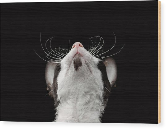 Closeup Portrait Of Cornish Rex Looking Up Isolated On Black  Wood Print