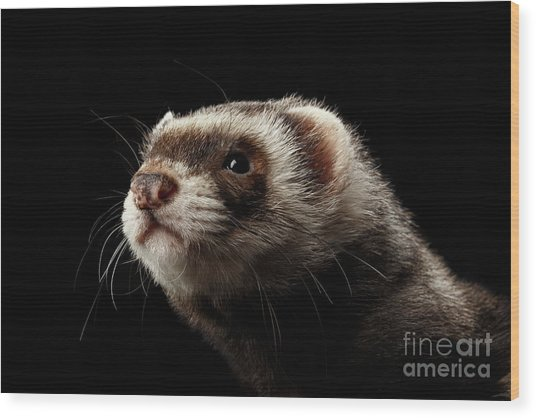 Closeup Portrait Of Funny Ferret Looking At The Camera Isolated On Black Background, Front View Wood Print