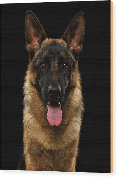 Closeup Portrait Of German Shepherd On Black  Wood Print