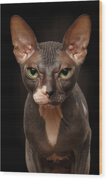 Closeup Portrait Of Grumpy Sphynx Cat Front View On Black  Wood Print