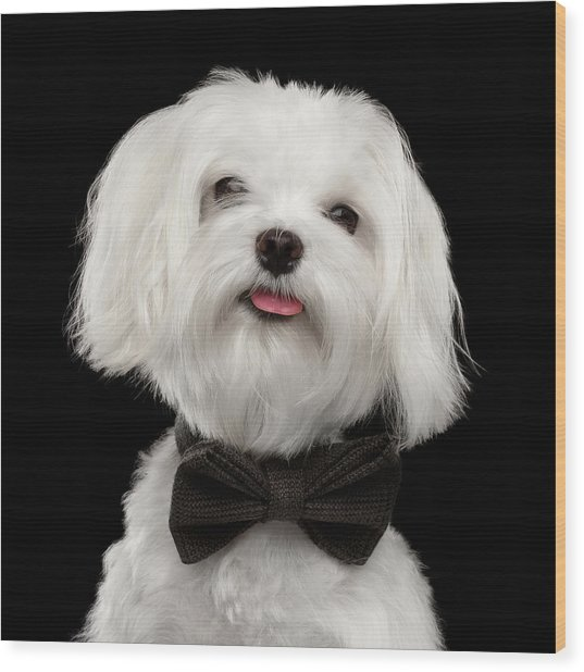 Closeup Portrait Of Happy White Maltese Dog With Bow Looking In Camera Isolated On Black Background Wood Print