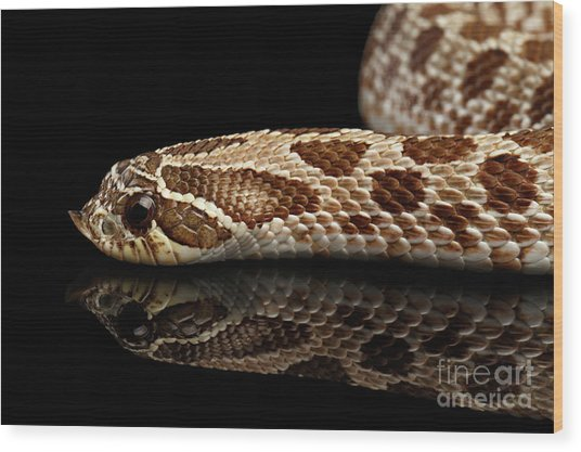 Closeup Western Hognose Snake, Isolated On Black Background Wood Print