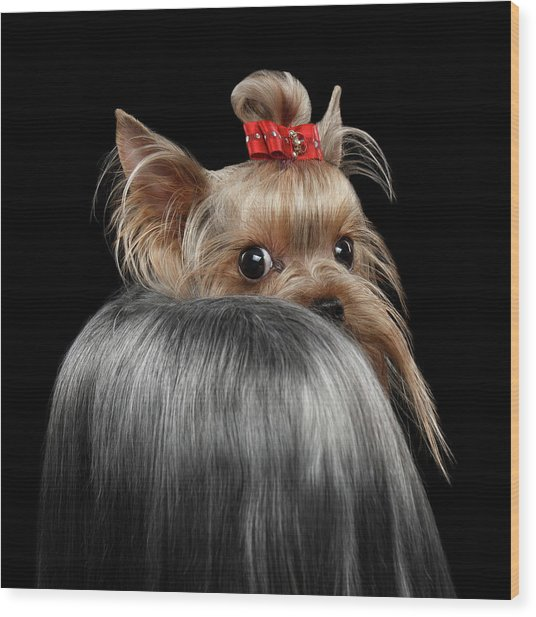 Closeup Yorkshire Terrier Dog, Long Groomed Hair Pity Looking Back Wood Print