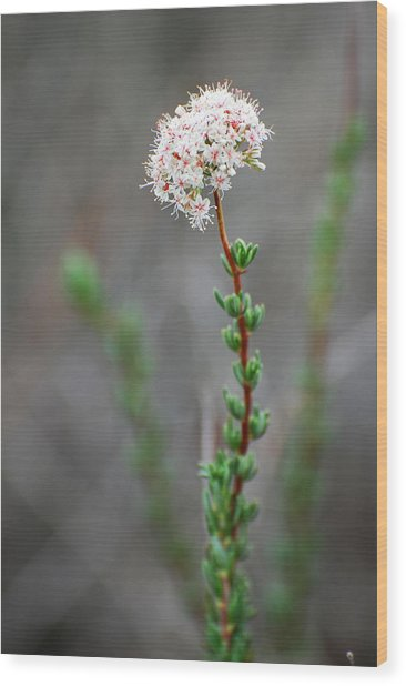 Cloud Puff Wildflower Wood Print by Jean Booth