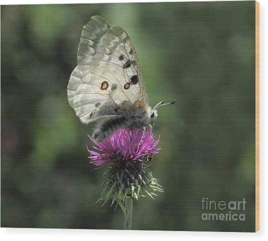 Clouded Apollo Butterfly Wood Print