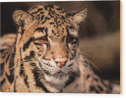 Clouded Leopard II Wood Print