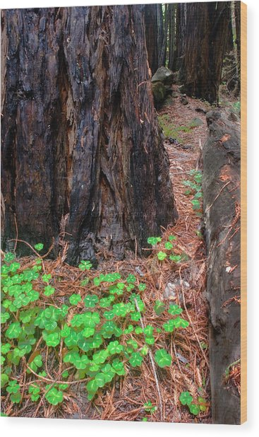 Clover And Redwood Wood Print by Charlie Hunt