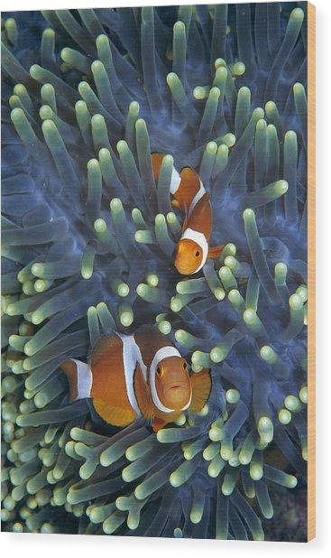 Clown Anemonefish Amphiprion Ocellaris Wood Print
