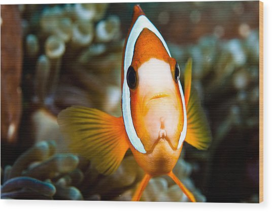 Clown Fish With An Attitude. Wood Print