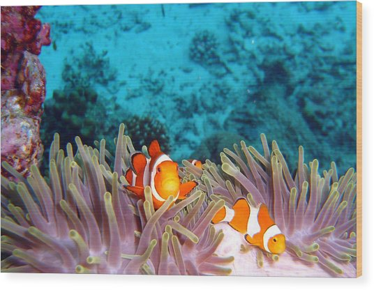 Clown Fishes Wood Print by Takau99