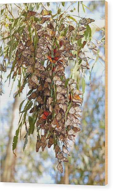 Clustered - Monarch Butterflies Wood Print