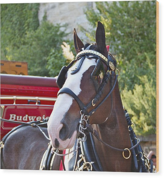 Clydesdale At Esp Wood Print