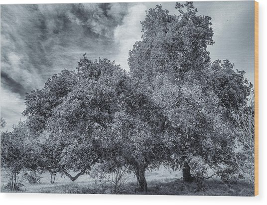 Coast Live Oak Monochrome Wood Print