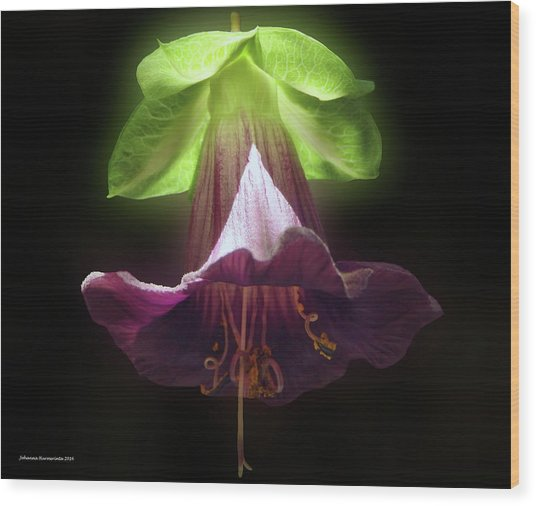 Cobaea Scandens Glowing Wood Print