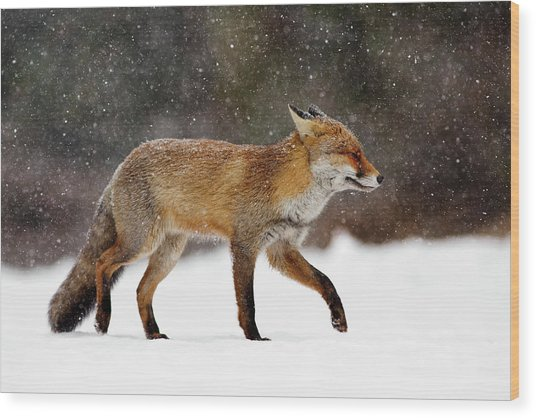 Cold As Ice - Red Fox In A Snow Blizzard Wood Print