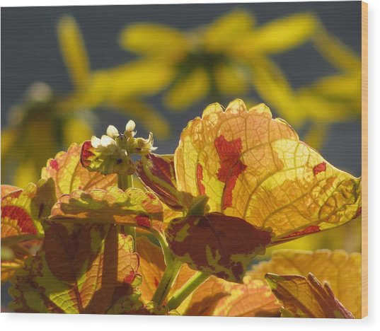 Coleus  Wood Print by Alfred Ng