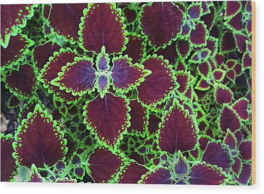 Coleus Leaves Wood Print