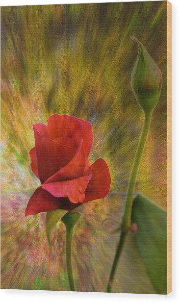 Color Explosion - Rose - Floral Wood Print by Barry Jones