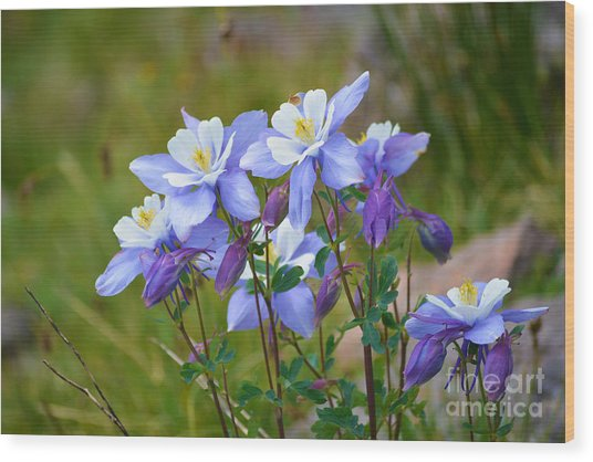Wood Print featuring the photograph Colorado Columbines by Kate Avery