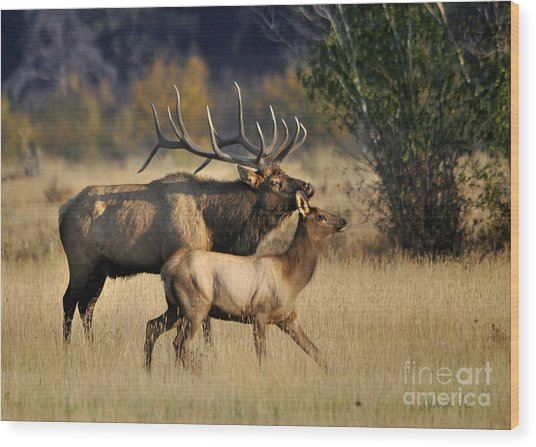 Colorado Elk  Wood Print