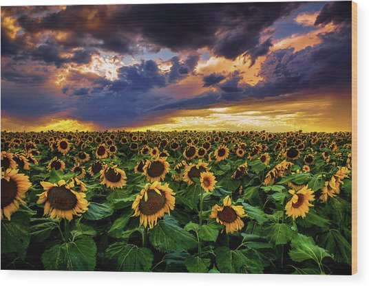 Colorado Sunflowers At Sunset Wood Print