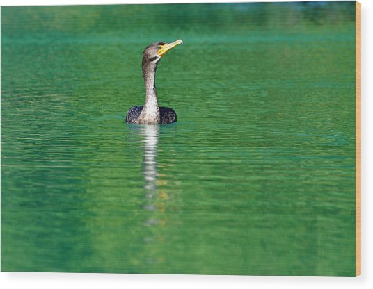 Colorful Cormorant Wood Print by Teresa Blanton