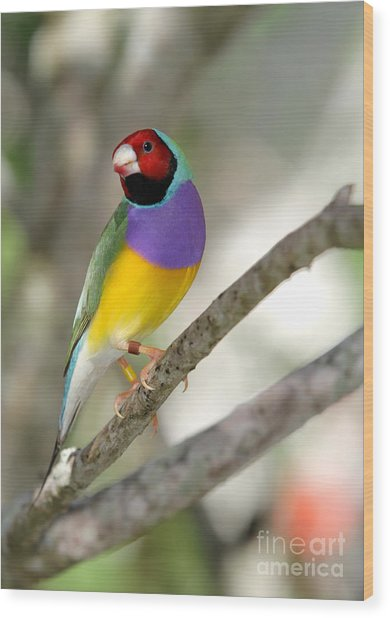 Colorful Gouldian Finch Wood Print